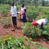 Uganda Key Message Update: Erratic rainfall reduces crop production prospects in several areas of Uganda, May 2021